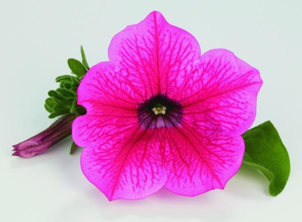 Petunia Grandiflora Surfinia® Hot Pink