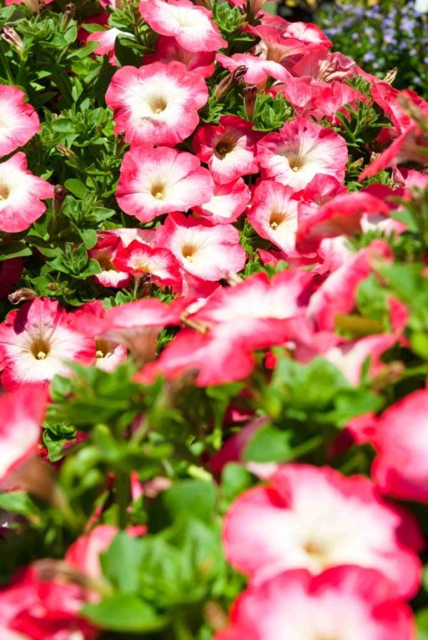 Petunia Surfinia® Coral Morn