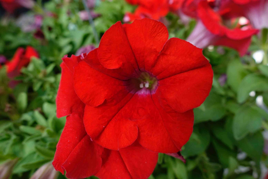 Petunia Surfinia® Trailing Red