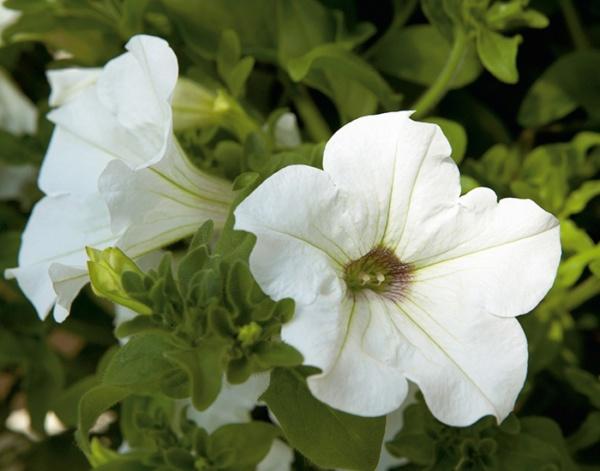 Petunia Surfinia® White