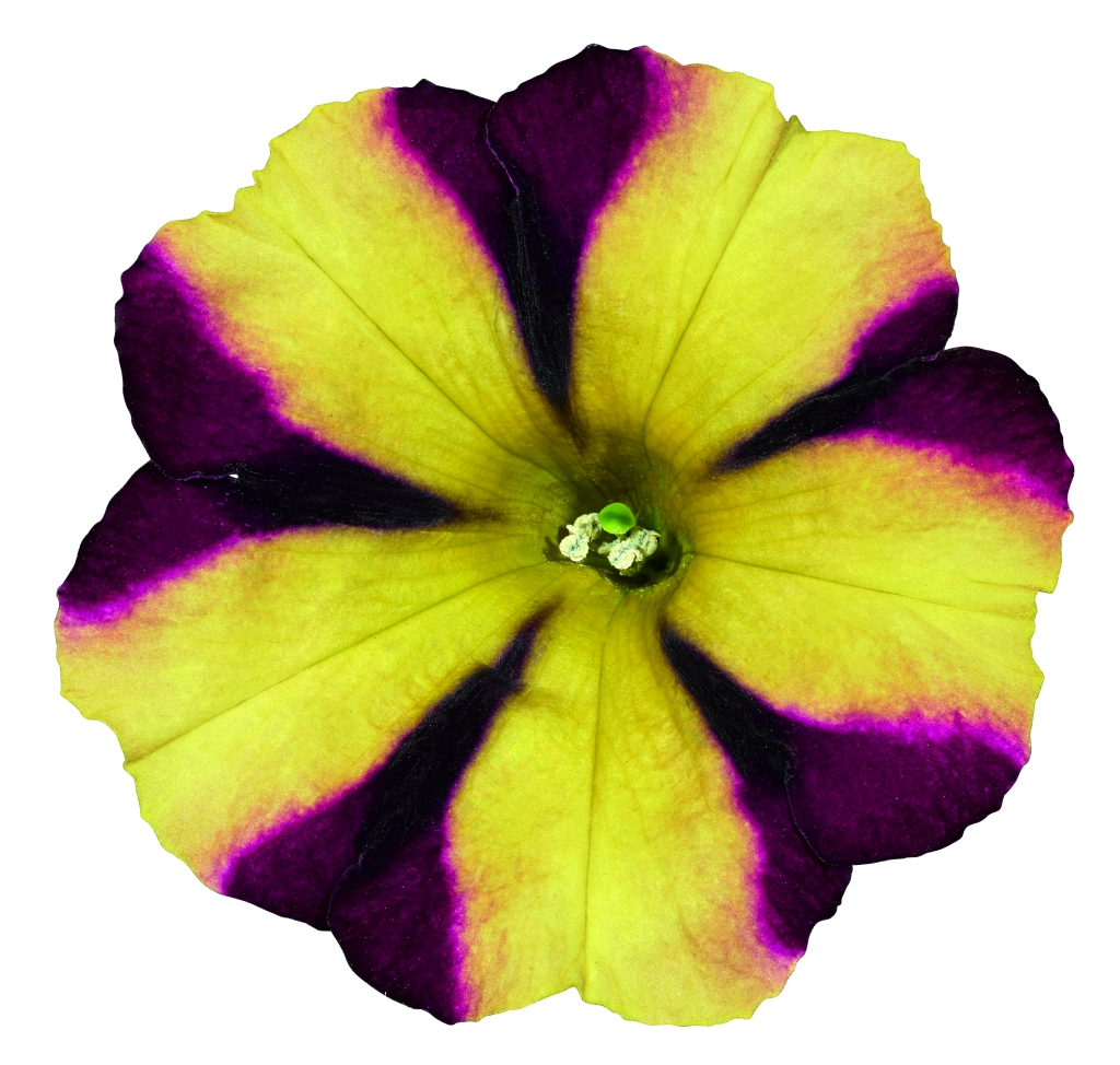 Petunia Grandiflora Amore® Fiesta