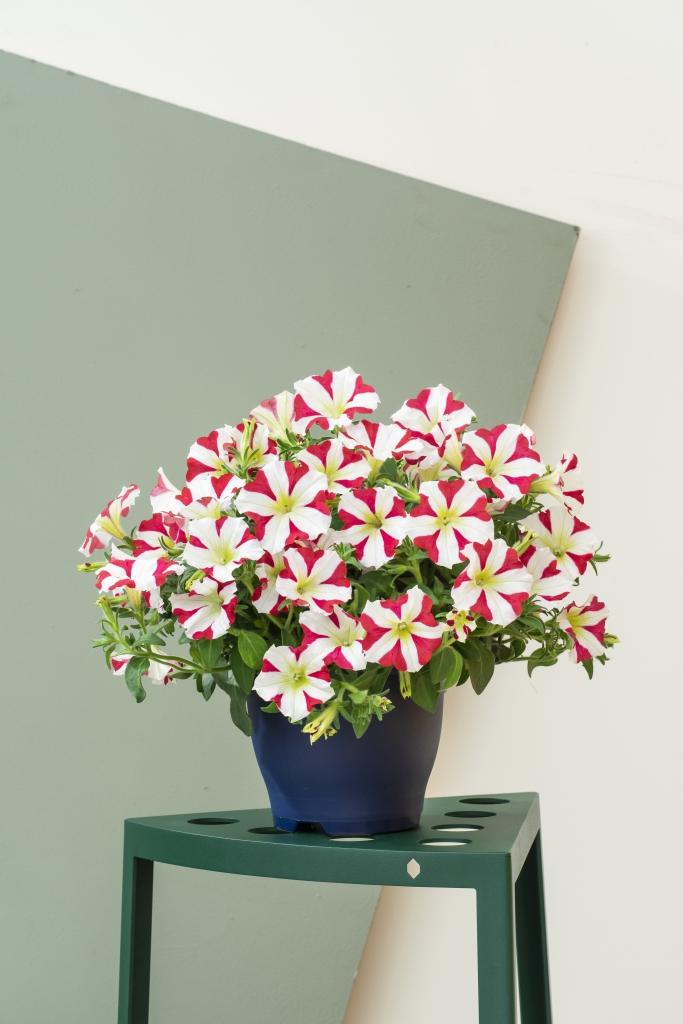 Petunia Grandiflora Amore® King of Hearts