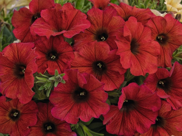 Petunia x Calibrachoa Beautical™ Bordeaux
