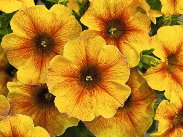 Petunia x Calibrachoa Beautical™ Caramel