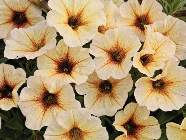 Petunia x Calibrachoa Beautical™ French Vanilla