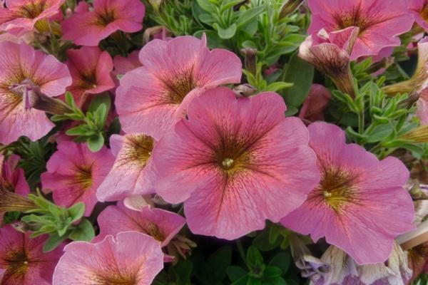 Petunia x Calibrachoa Beautical™ Sunray Pink