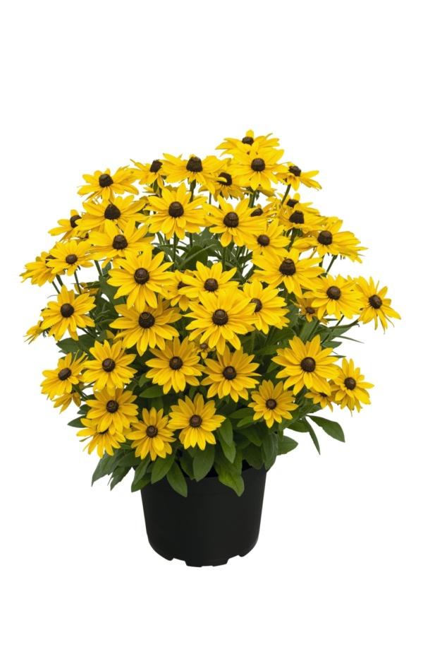 Rudbeckia SMILEYZ™ Sunny Smiley