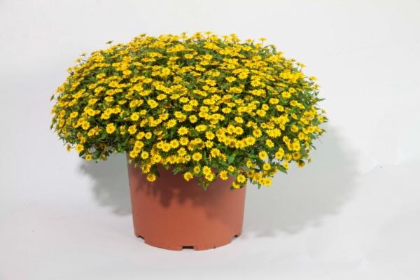 Sanvitalia Procumbens Picador® Compact Yellow