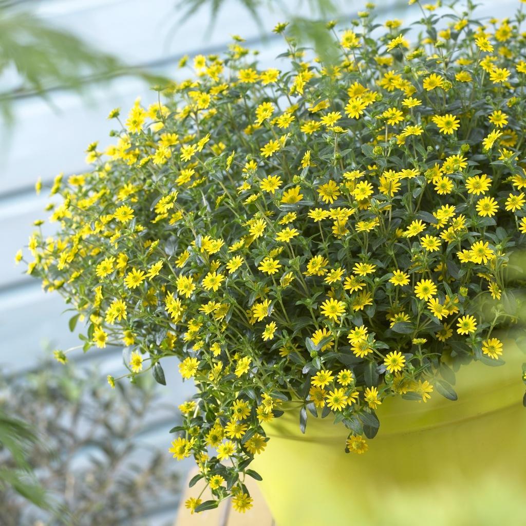 Sanvitalia speciosa Inca Yellow