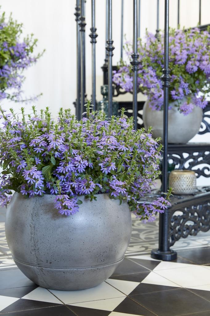 Scaevola Aemula Surdiva® Deep Violet Blue