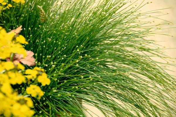 Scirpus cernnus Fiber Optic Grass
