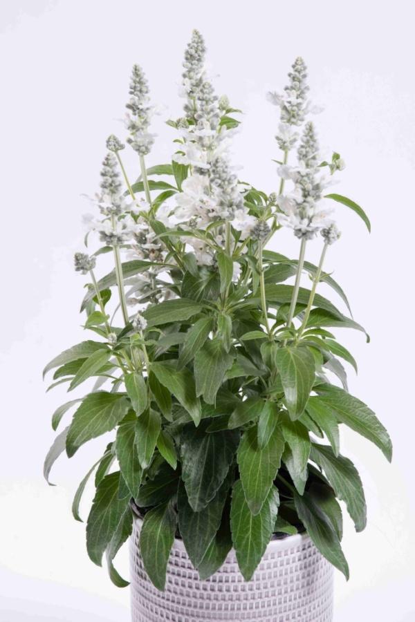 Salvia tiliifolia Salti White