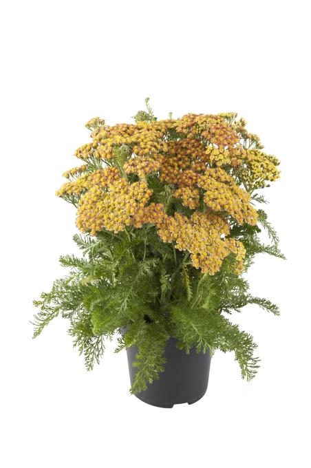 Achillea millefolium Milly Rock Yellow Terracotta