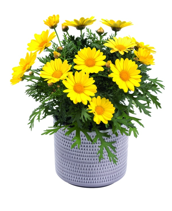 Argyranthemum Day Zee Cream Yellow