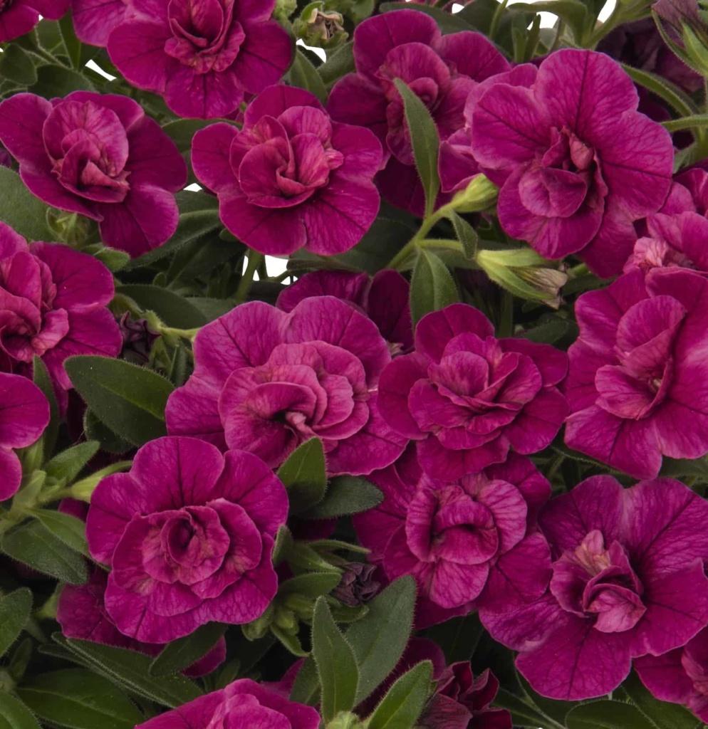 Calibrachoa Aloha Double Purple