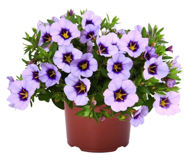 Calibrachoa Bloomtastic Lavender Quartz
