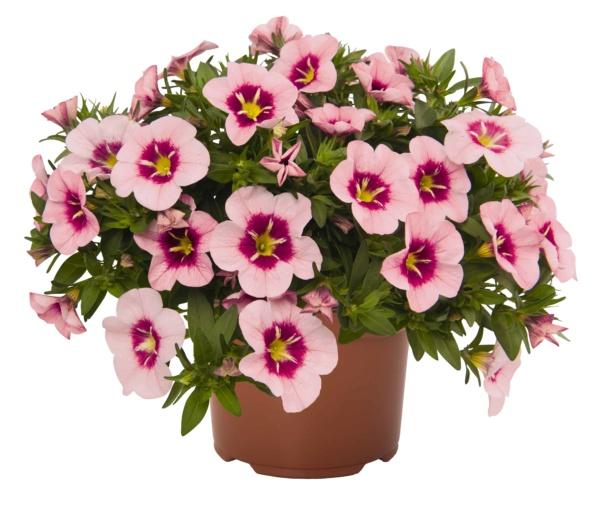 Calibrachoa Bloomtastic Rose Quartz