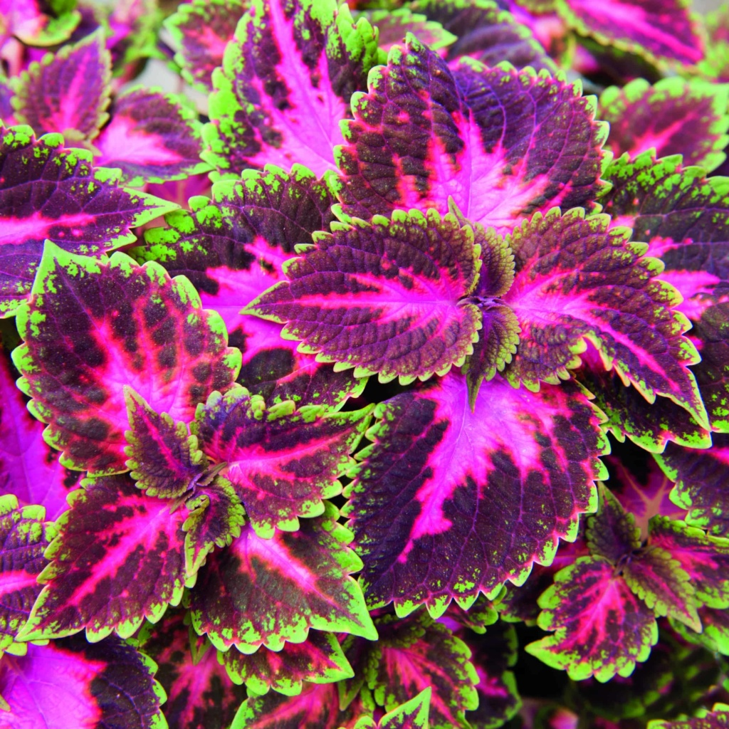 Coleus Main Street Fifth Avenue