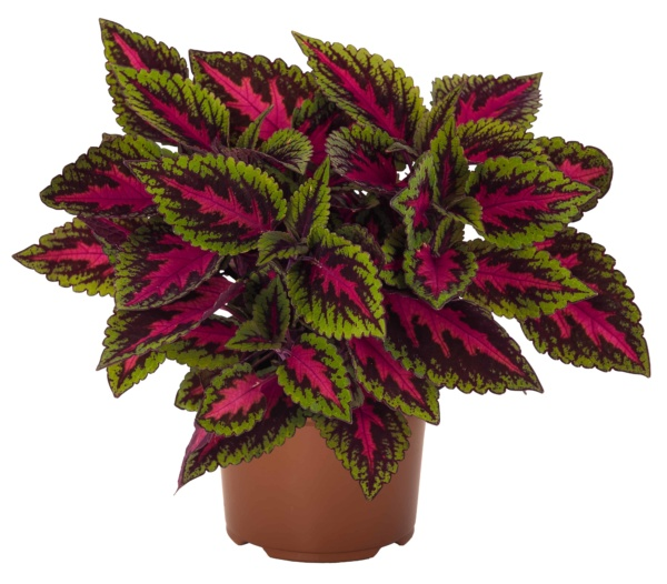 Coleus Main Street Ruby Road