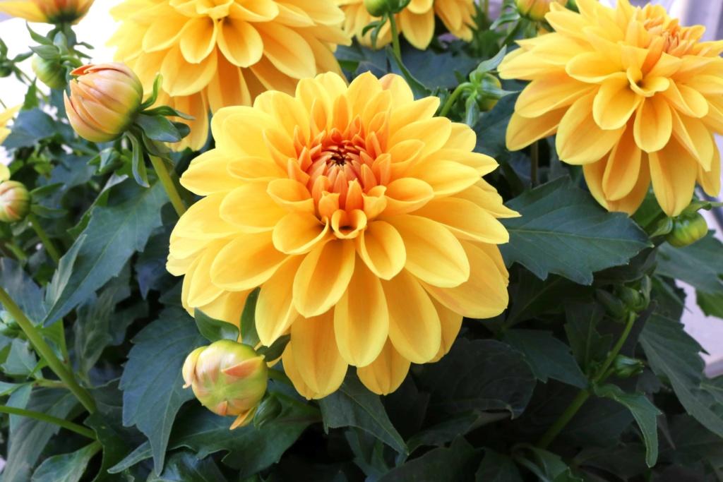 Dahlia Hypnotica Gold