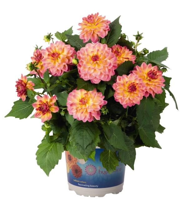 Dahlia Hypnotica Rose Bicolour