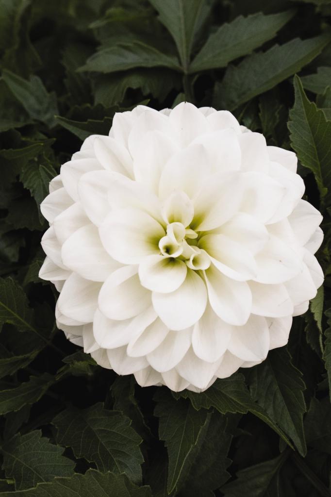 Dahlia Hypnotica White