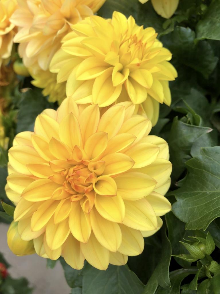 Dahlia Hypnotica Yellow