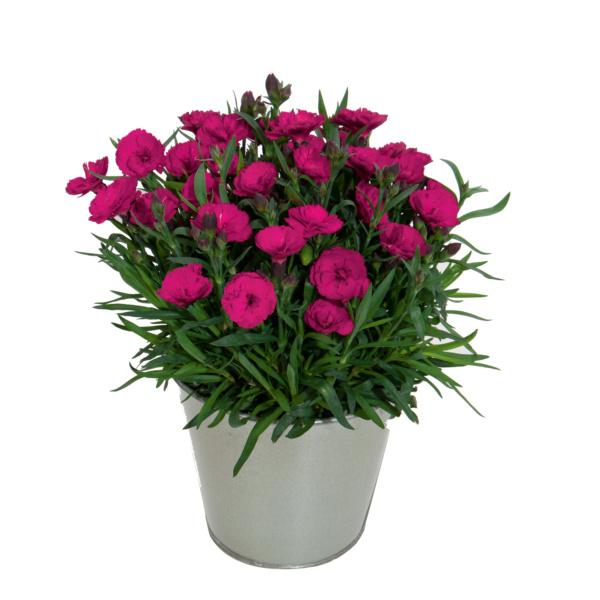 Dianthus Carmen Purple