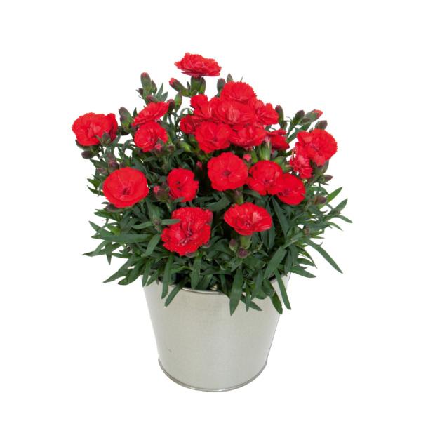 Dianthus Carmen Red