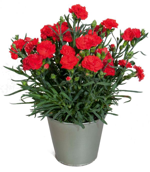 Dianthus COLORES Amor
