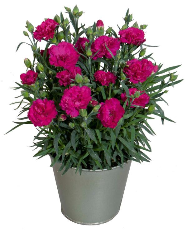 Dianthus COLORES Beso