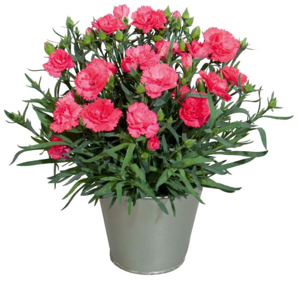 Dianthus COLORES Dulce