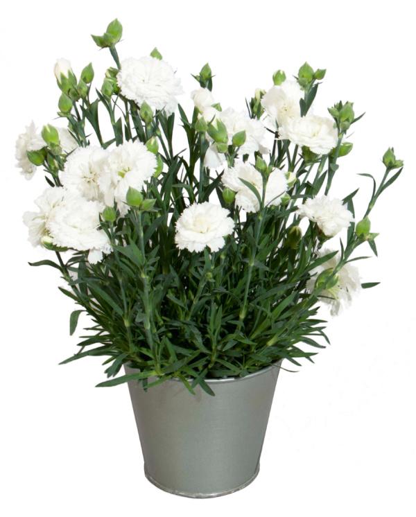 Dianthus COLORES Nieve