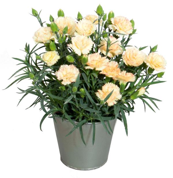 Dianthus COLORES Oro