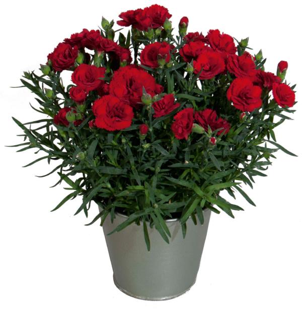 Dianthus COLORES Sangre