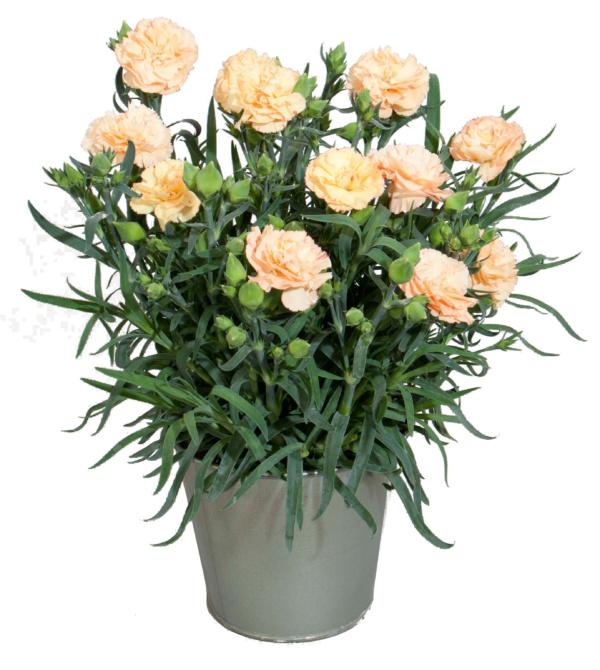 Dianthus COLORES Sol
