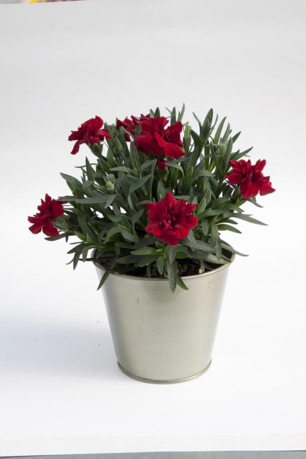 Dianthus OSCAR ® Dark Red