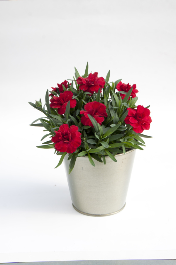 Dianthus OSCAR ® Cherry