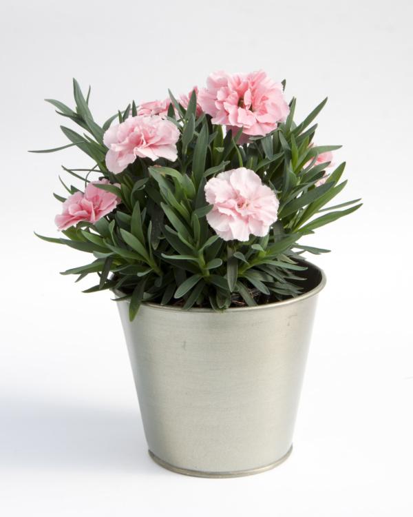 Dianthus OSCAR ® Pink