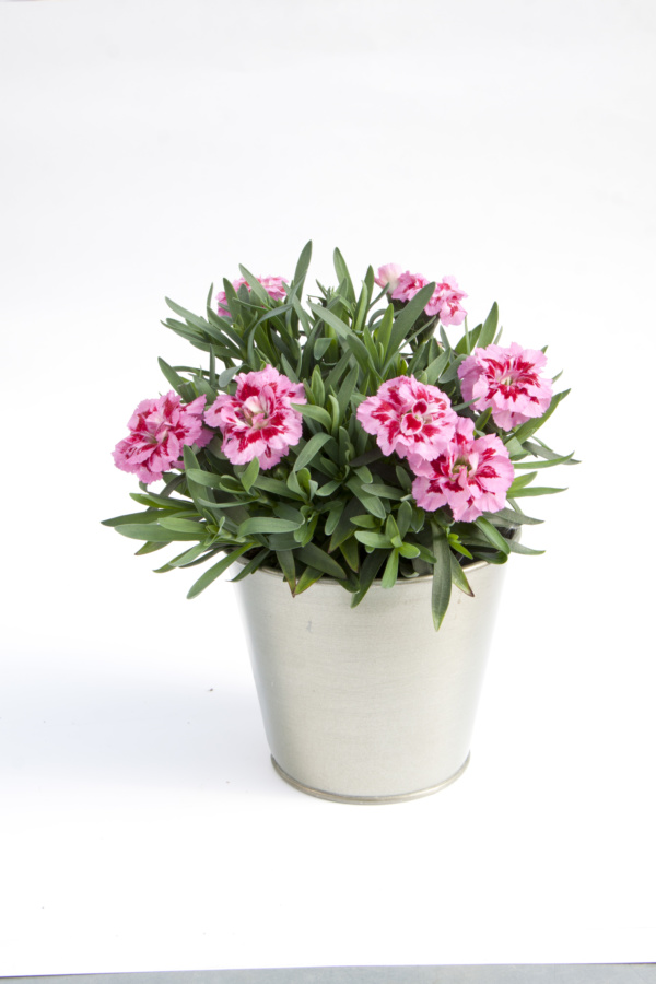 Dianthus OSCAR ® Pink and Purple