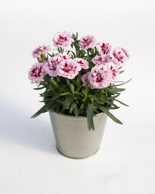 Dianthus OSCAR ® Purple Star 19