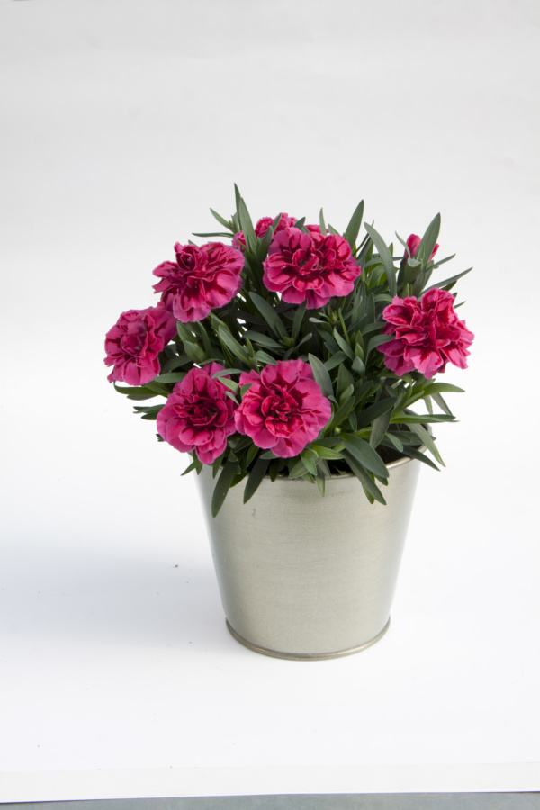 Dianthus OSCAR ® Purple Wings