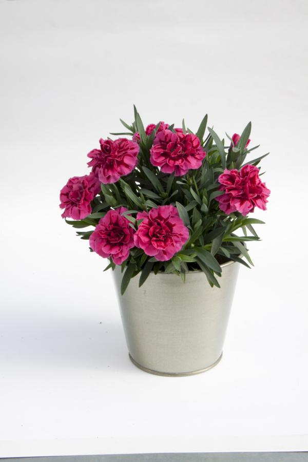 Dianthus OSCAR ® Purple Wings