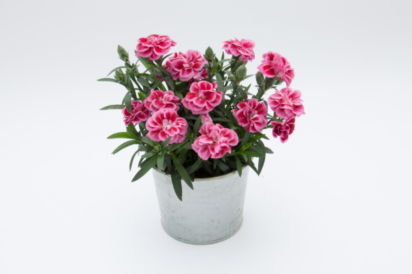 Dianthus OSCAR ® Violet and Pink
