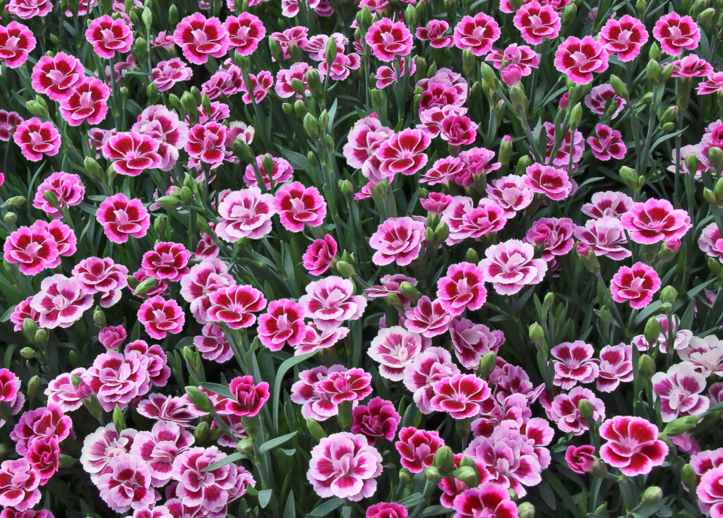 Dianthus Pink Kisses ®