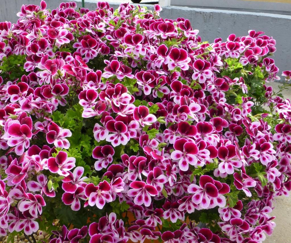 Pelargonium Duftpelargonien Angels Perfume