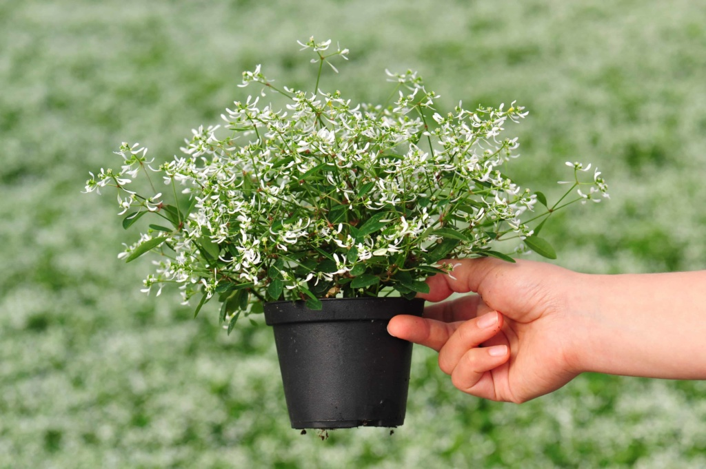 Euphorbia Chamaesyce Star Dust White Flash
