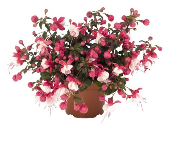 Fuchsia Arétes Alwin