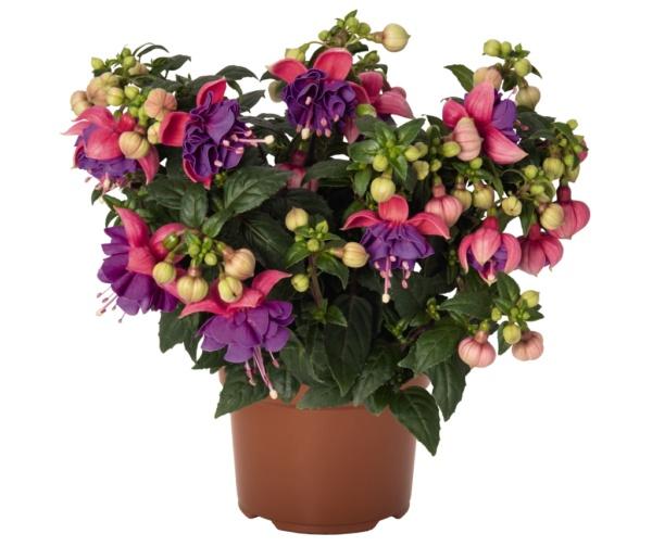 Fuchsia Arétes Colmar
