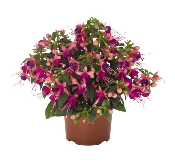 Fuchsia Arétes Upright Jollies Nancy